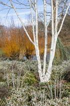 Betula utilis var. jacquemontii 'Doorenbos', Erica × darleyensis f. albiflora 'White Spring Surprise', Rubus thibetanus, Cedrus atlantica (Glauca Group) 'Glauca Pendula', Salix alba var. vitellina 'Y...