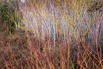 Cornus sanguinea 'Midwinter Fire', Rubus biflorus
