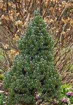 Picea glauca Sanders Blue'