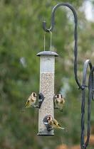 Goldfinches on sunfliower seed bird feeder