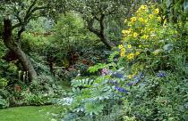 Helianthus 'Lemon Queen', Melianthus major, Salvia indica
