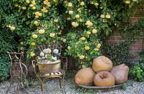 Metal chair, Allium karataviense in old metal pot, Rosa 'Buff Beauty'