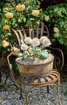 Metal chair, Allium karataviense in old metal container, Rosa 'Buff Beauty'