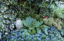 Variegated ivy, rodgersia, pieris, euphorbia