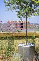 Olive tree in zinc container, Verbena bonariensis, sky-line, roof terrace