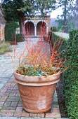 Cornus sanguinea 'Midwinter Fire' in large terracotta container with hellebores, brick terrace, view to pavilion