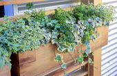 Wooden troughs with herbs, thyme, parsley, ivy