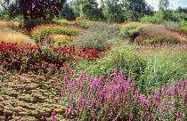 Path, Hylotelephium 'Matrona' syn. sedum, Lythrum 'Zigeunerblut', Echinacea purpurea 'Rubinstern'