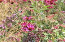 Echinacea purpurea 'Rubinstern', Sedum telephium 'Munstead Red', Oreganum 'Rosenkuppel', Deschampsia cespitosa 'Goldtau'