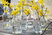 Cut sprigs of forsythia in small glass vases