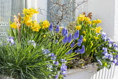 Narcissus, muscari and pansies in window box