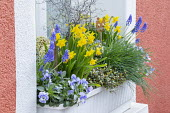 Narcissus, muscari, skimmia and pansies in window box