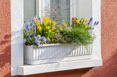 Narcissus, muscari, skimmia, Muehlenbeckia complexa and pansies in window box