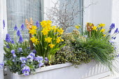 Narcissus, muscari, Muehlenbeckia complexa, skimmia and pansies in window box