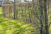 Wavy hornbeam hedge
