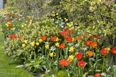 Tulips and narcissus in border, Skimmia 'Kew Green', Apple blossom