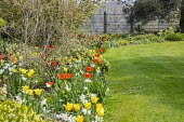 Tulips and narcissus in border, view across lawn to metal gate