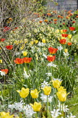 Tulips and daffodils in border by stone wall, Skimmia 'Kew Green'