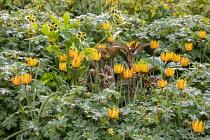 Tulipa orphanidea (Whittallii Group) 'Major', geraniums and hellebores
