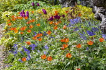 Tulipa orphanidea (Whittallii Group) 'Major', geranium, Hyacinthoides non-scripta