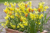 Tulipa clusiana 'Cynthia' and Narcissus 'Hawera' in container