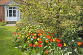 Tulips and narcissus in border, view across lawn to house, Apple blossom