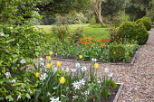 Narcissus and tulips in border by gravel path