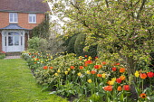 Tulips and narcissus in border, view across lawn to house, Skimmia 'Kew Green'