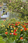 Tulips and narcissus in border, view across lawn to house, Skimmia 'Kew Green', Apple blossom