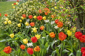 Tulips and narcissus in border, Skimmia 'Kew Green'