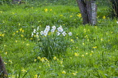 Narcissus poeticus and Primula veris naturalised in orchard