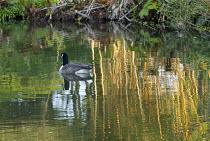 Canada goose, Branta canadensis, on lake, reflections