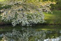 Cherry blossom overhanging lake
