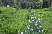 Narcissus poeticus and Primula veris naturalised in orchard, beehive