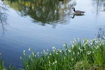 Canada goose, Branta canadensis, on lake, leucojum