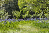 Daisies in mown grass path through orchard of Sussex apples including Malus domestica 'Egremont Russet', 'Crawley Beauty', 'Saltcote Pippin', 'Tinsley Quince Wadhurst' and 'Charles Ross', Camassia lei...