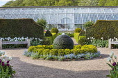 Circular stone sphere water fountain, low clipped box hedge edged with myosotis, yew hedge, greenhouses, tulips