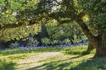 Mown grass path through long grass meadow, Camassia leichtlinii
