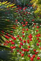 Tulipa 'Oxford' and Narcissus 'Thalia', Trachycarpus fortunei