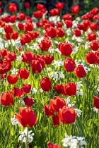 Tulipa 'Oxford' and Narcissus 'Thalia'