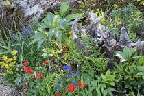 Stumpery, Tulipa linifolia, primula, muscari, hellebore