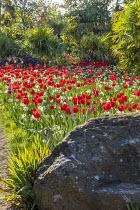 Drift of Tulipa 'Oxford' and Narcissus 'Thalia', Trachycarpus fortunei