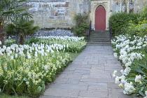 Tulipa 'White Triumphator' underplanted with erysimum, Tulipa 'Mondial'