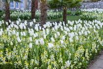 Tulipa 'White Triumphator' underplanted with erysimum