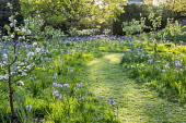 Camassia leichtlinii in long grass beneath orchard of Sussex apples including Malus domestica 'Egremont Russet', 'Crawley Beauty', 'Saltcote Pippin', 'Tinsley Quince Wadhurst' and 'Charles Ross', mown...