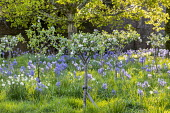 Camassia leichtlinii and Narcissus 'Actaea' in long grass beneath orchard of Sussex apples including Malus domestica 'Egremont Russet', 'Crawley Beauty', 'Saltcote Pippin', 'Tinsley Quince Wadhurst' a...
