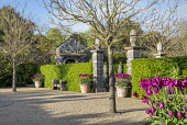 Tulipa 'Purple Dream' in large terracotta pots around gravel courtyard, hornbeam hedge, stone piers