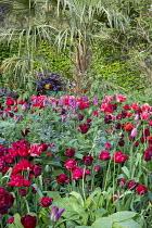 Tulipa 'Mascara' 'Nightrider', 'Spryng Break'