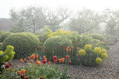 Large mounds of Buxus sempervirens, Tulipa 'Ballerina' and 'Abu Hassan', euphorbia