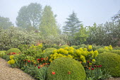 Large mounds of Buxus sempervirens, Tulipa 'Ballerina', euphorbia